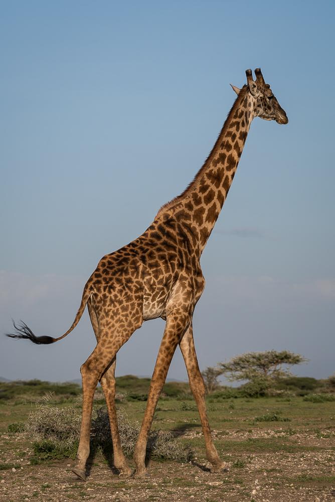 Giraffe, Ndutu