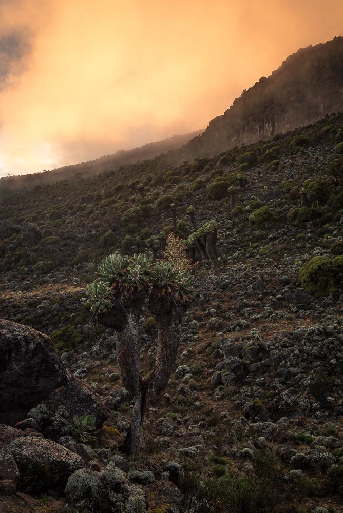 Dendrosenecio kilimanjari, Barranco Camp, Kilimanjaro, Kilimandscharo
