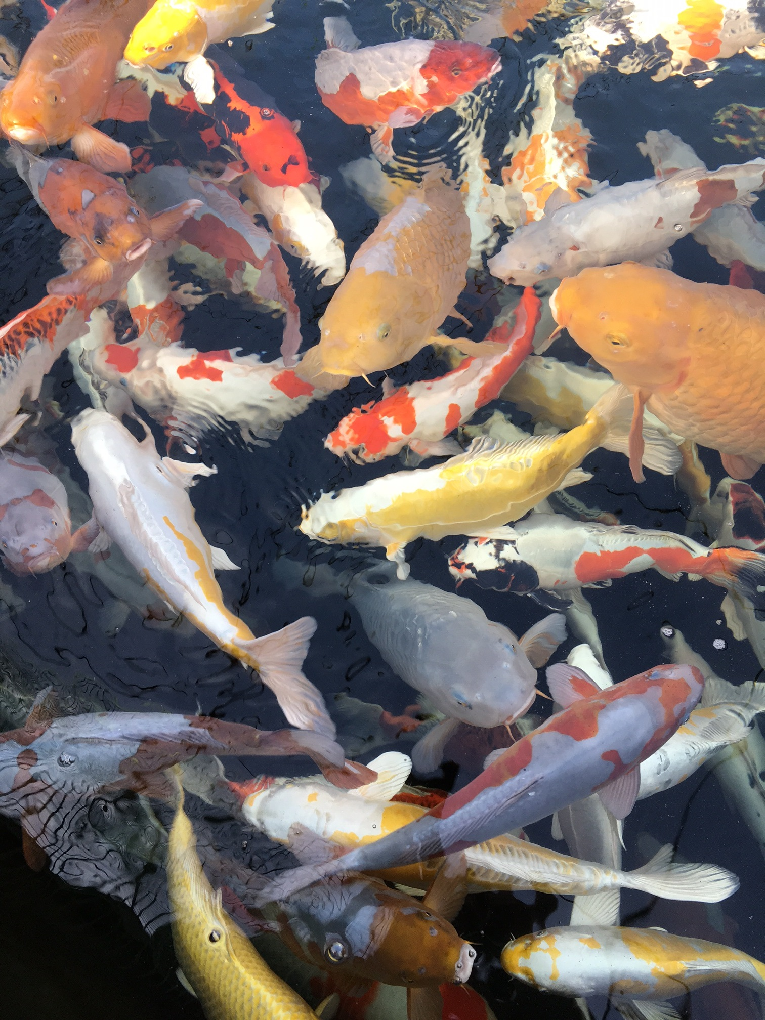 Japanische koi teichtechnik genesis m koi handel for Fische im naturteich