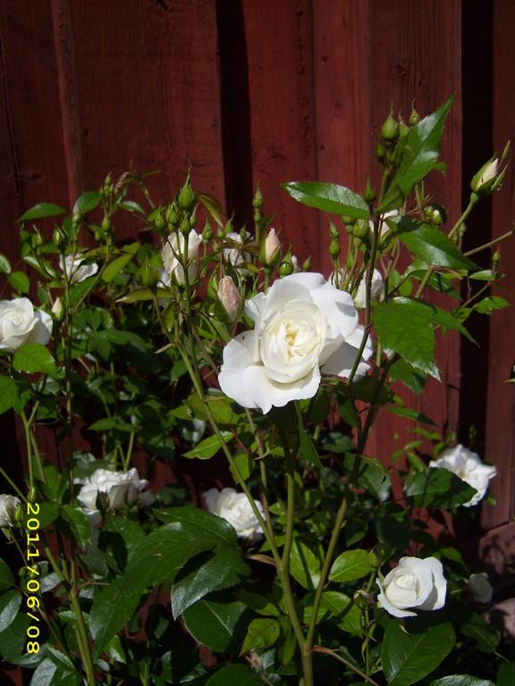 weiße Rosen in Stockholm; LandFrauen Bordesholm