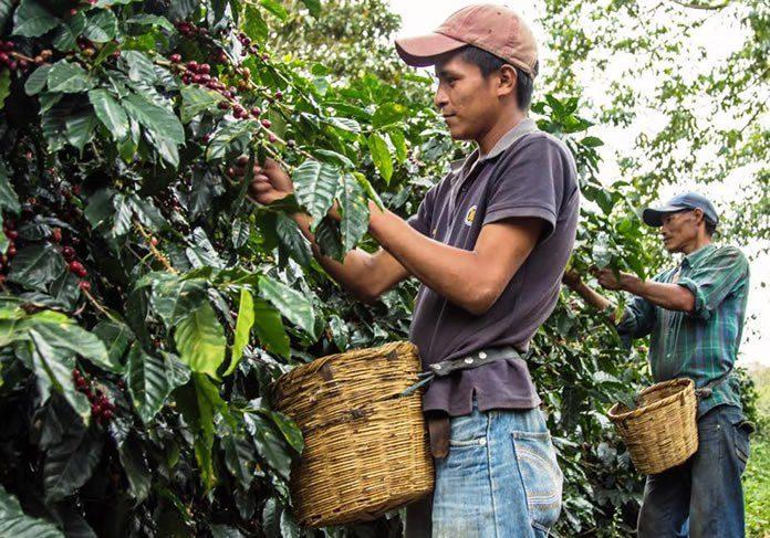 Cueillette des grains du café à la main