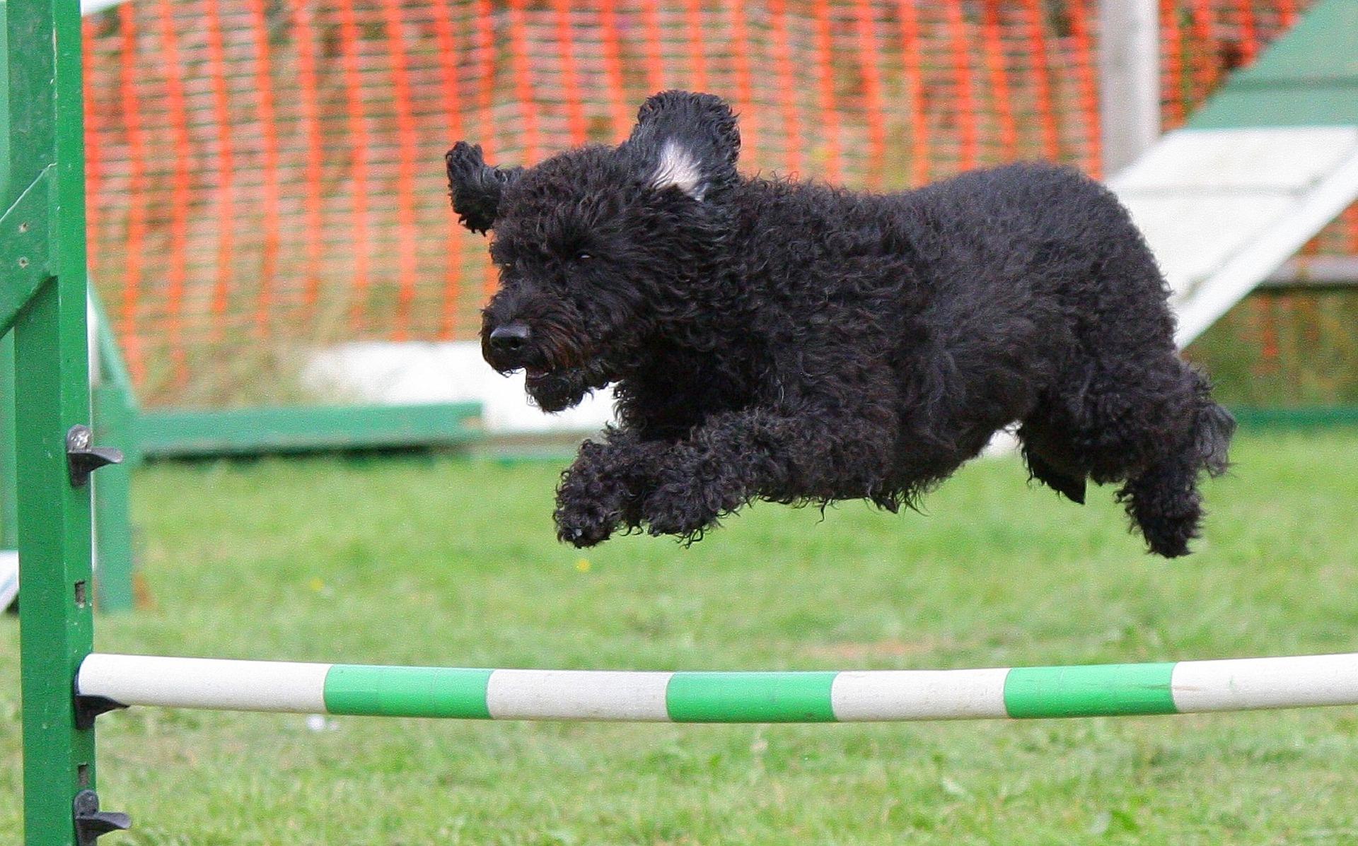 Ein Hund springt beim Fun-Kurs in Hamburg über eine Hindernisstange