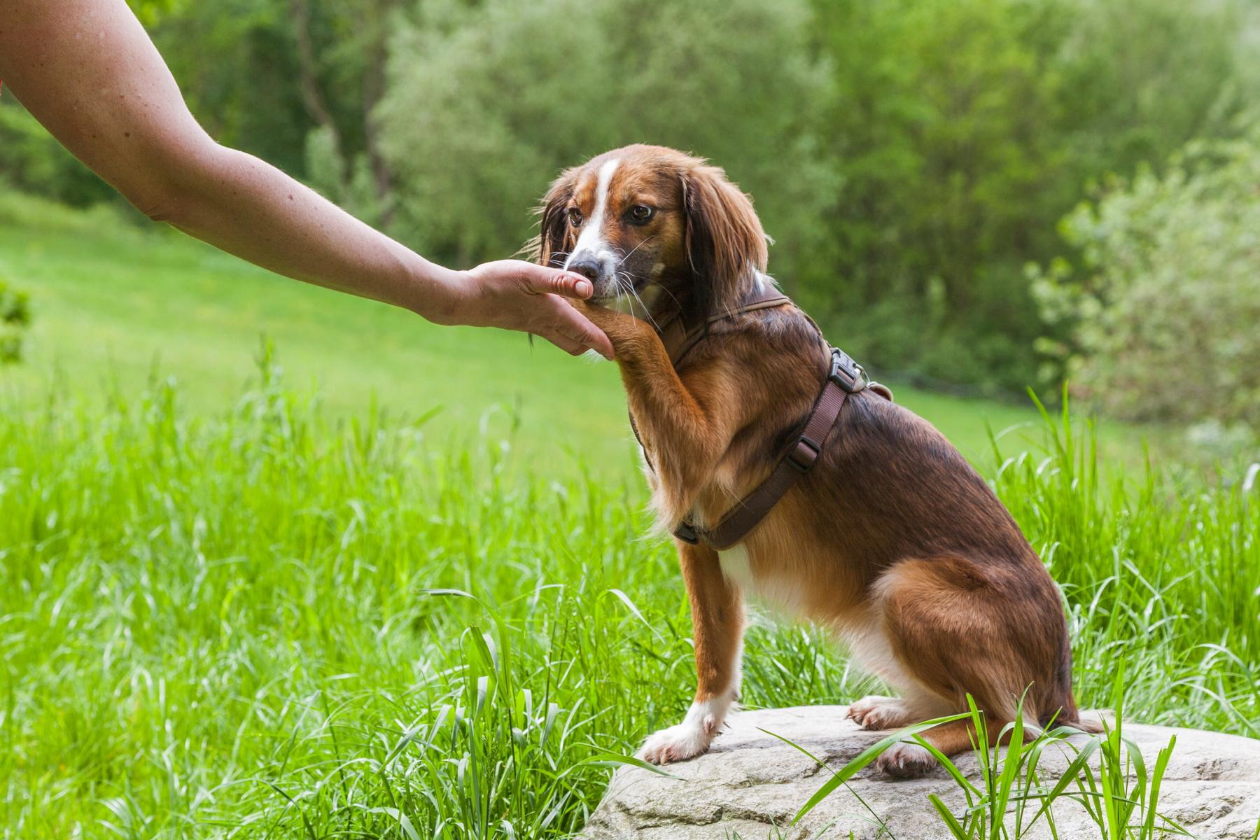Ein kleiner Hund sitzt auf einem Stein auf einer Wiese und legt seinem Besitzer die Pfote in die Hand