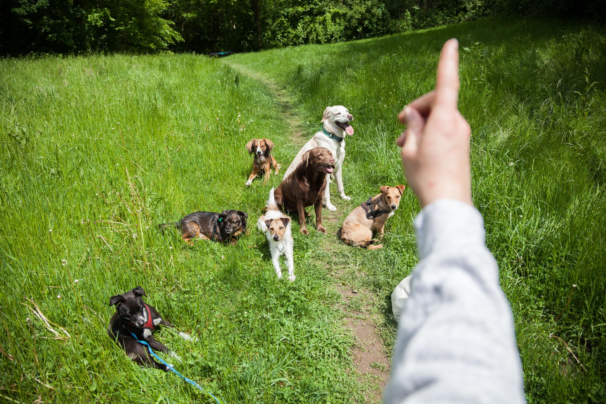 Einige Hunde sitzen auf einer Wiese, eine Hand gibt den Hunden ein Signal