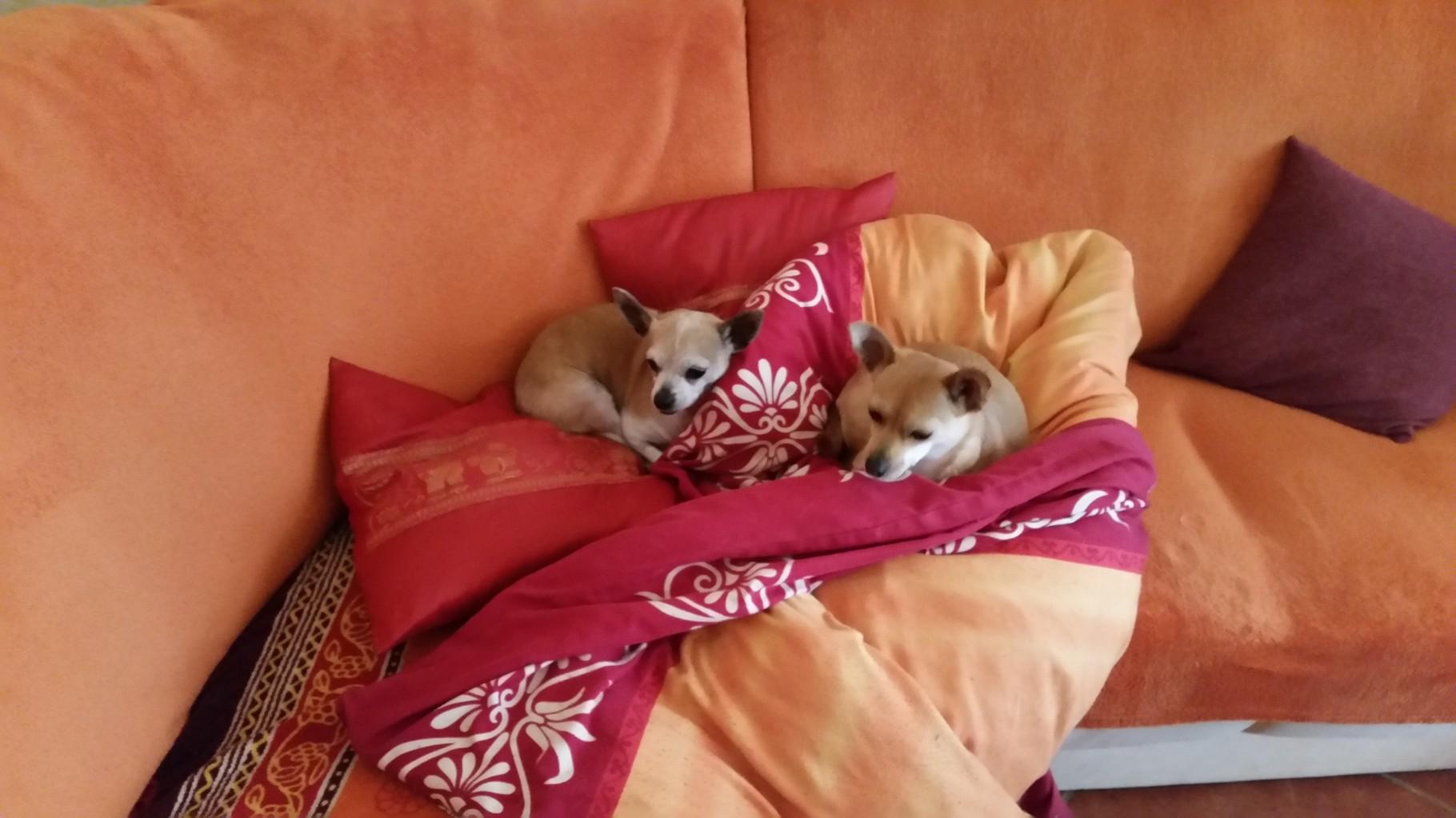 Zwei Süße Chihuhuas :-)