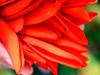 デイゴの花びら