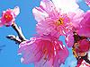 石垣島の桜