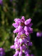 La flore landaise