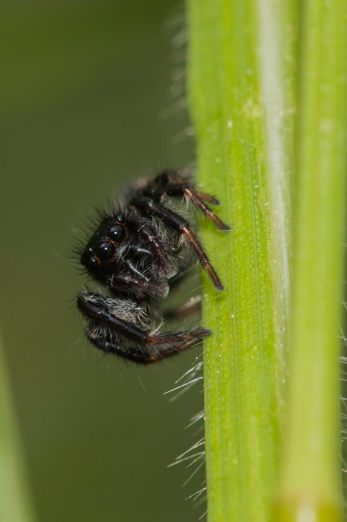 Carrotus xanthogramma mâle