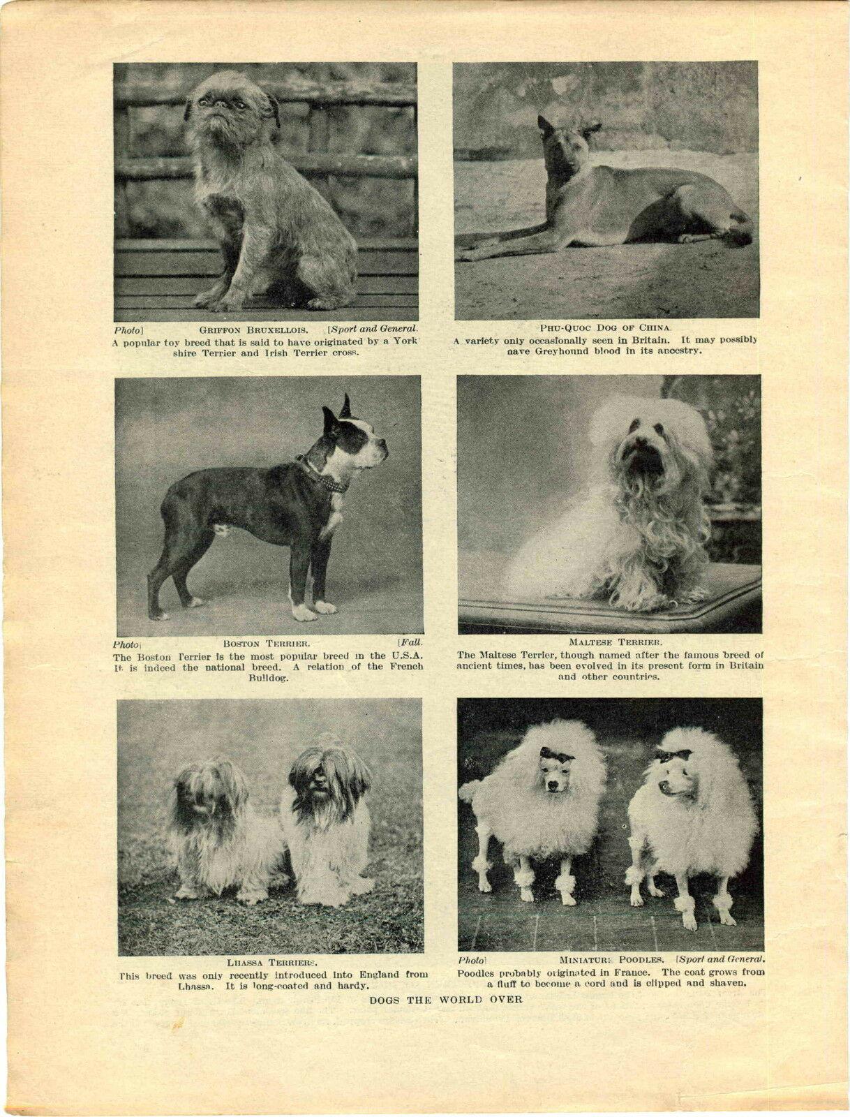 1930 Exlibris Phu-Quoc Griffon Bruxellois Maltese Lhas