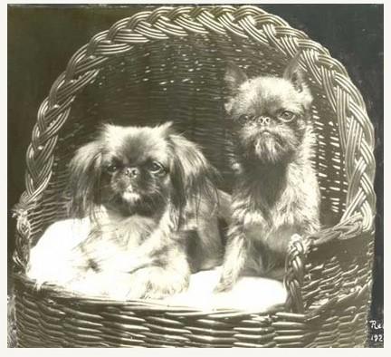 Vintage Pekingese & Brussels Griffon in a basket