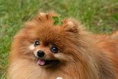 愛犬チャコそっくりのポメラニアンを散歩の途中に見つけたよ。  可愛いね!
