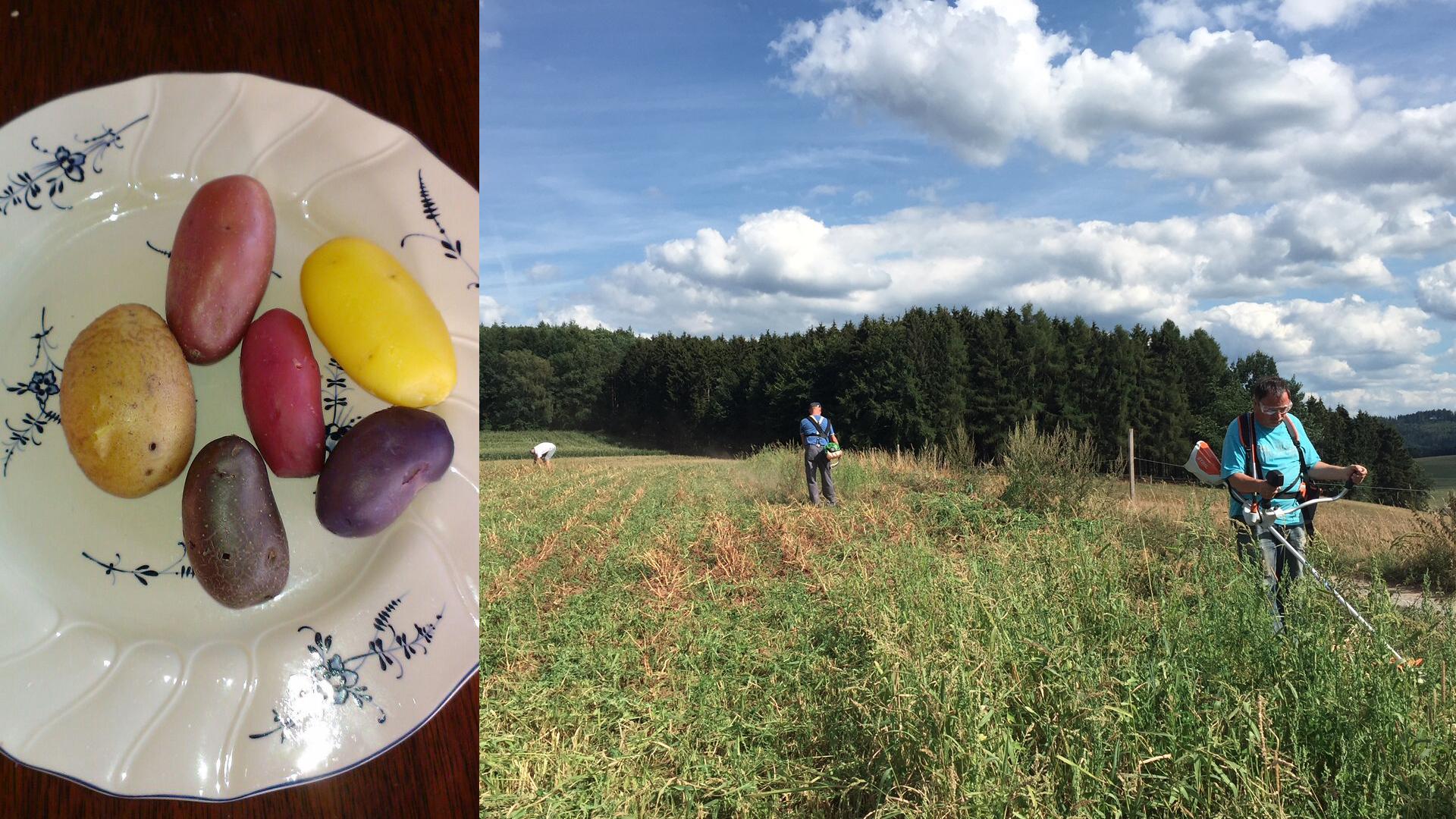 Kartoffelernte 2018 – Violetta, Red Emaille und Nicola