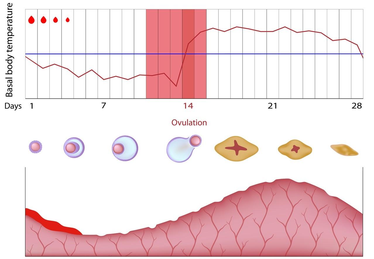Überlebensdauer spermien im weiblichen körper