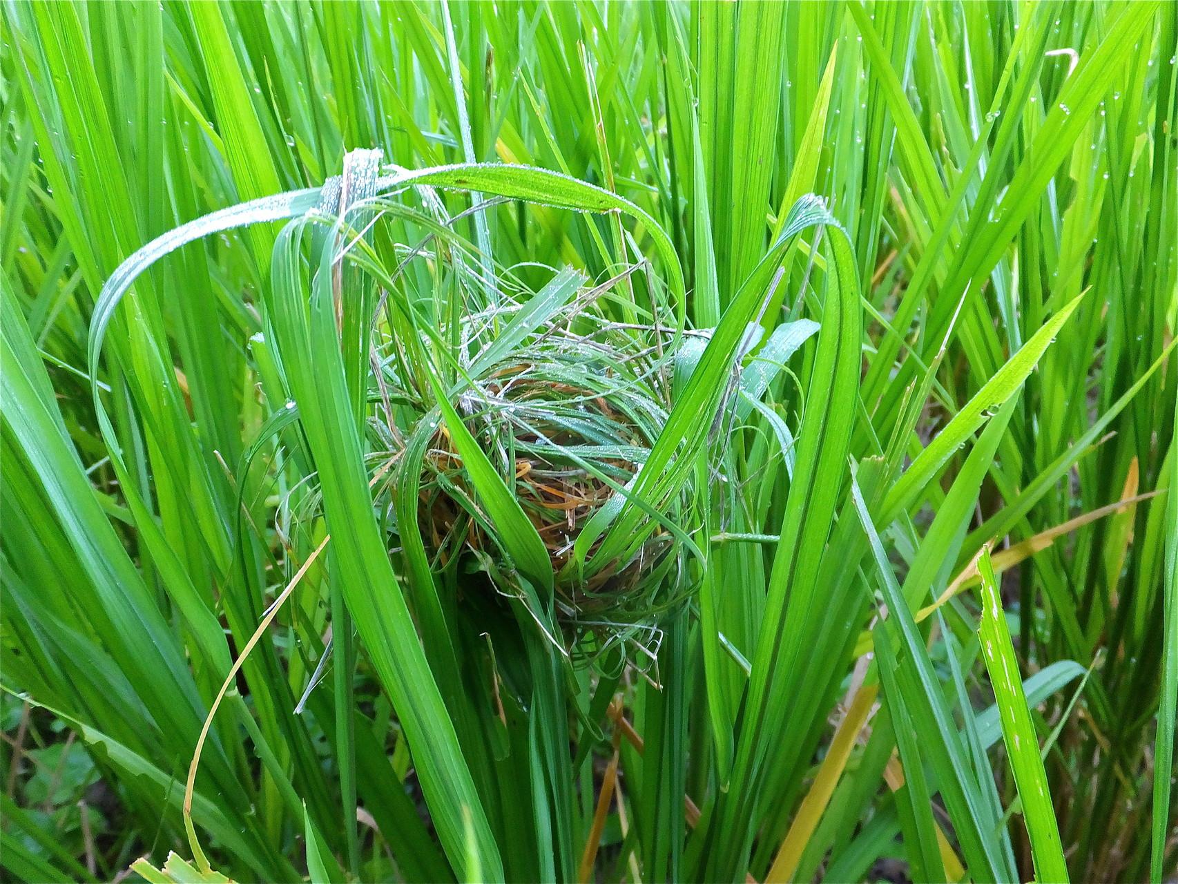 朝露に濡れるカヤネズミの巣