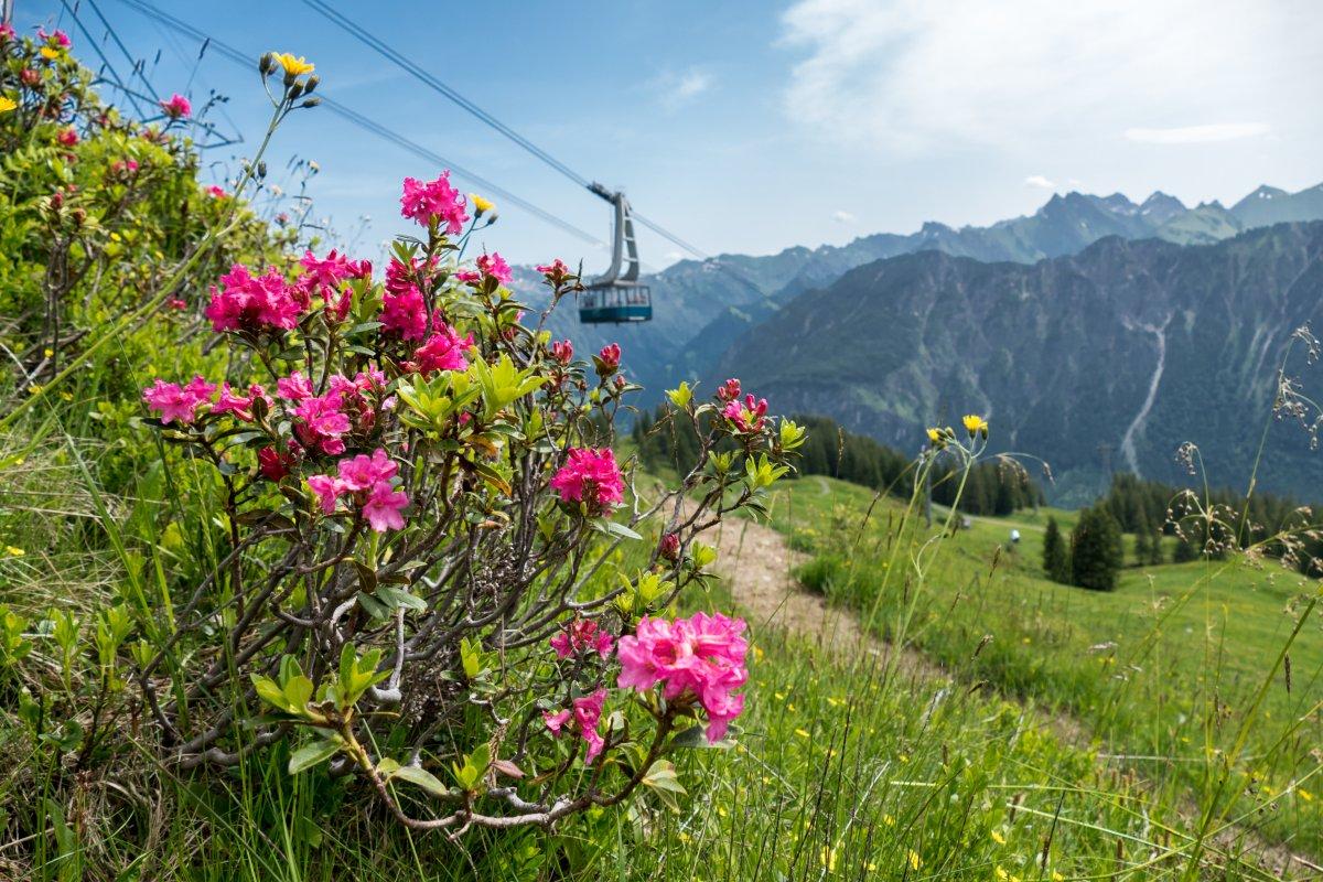Alpenrosenblüte am Fellhorn © Oberstdorf / Kleinwalsertal Bergbahnen