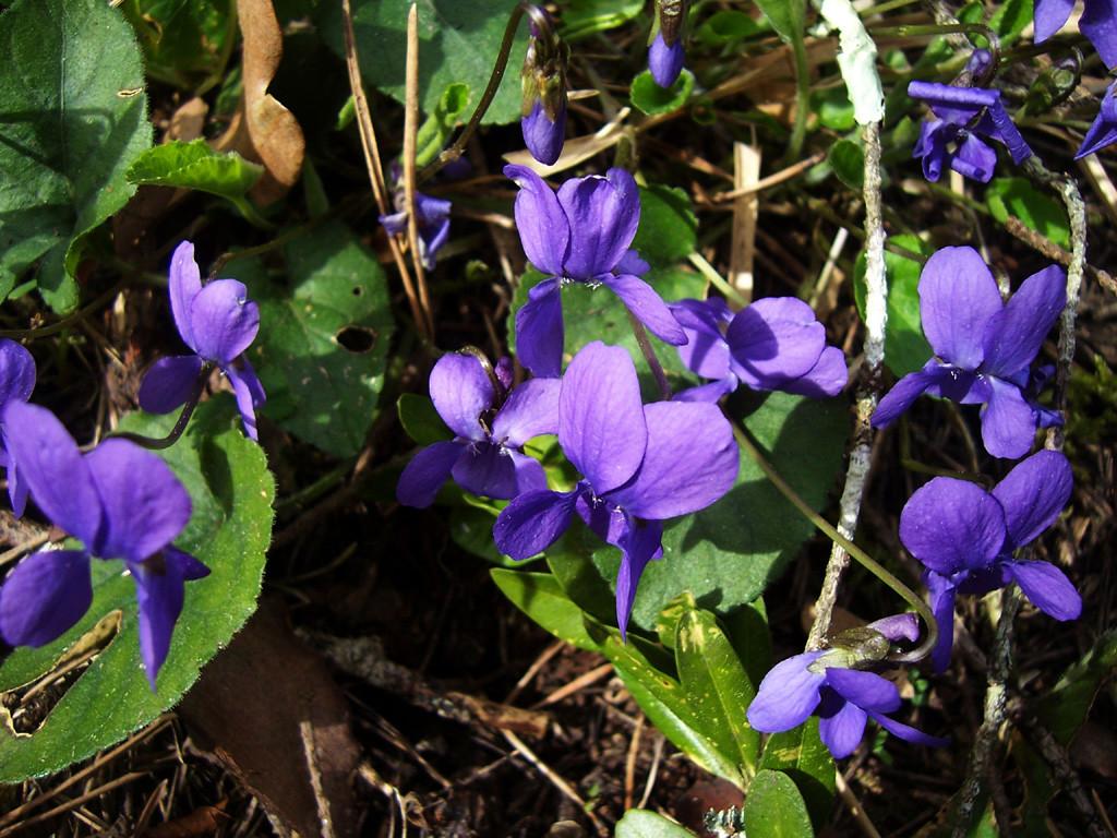Au printemps : la violette sauvage