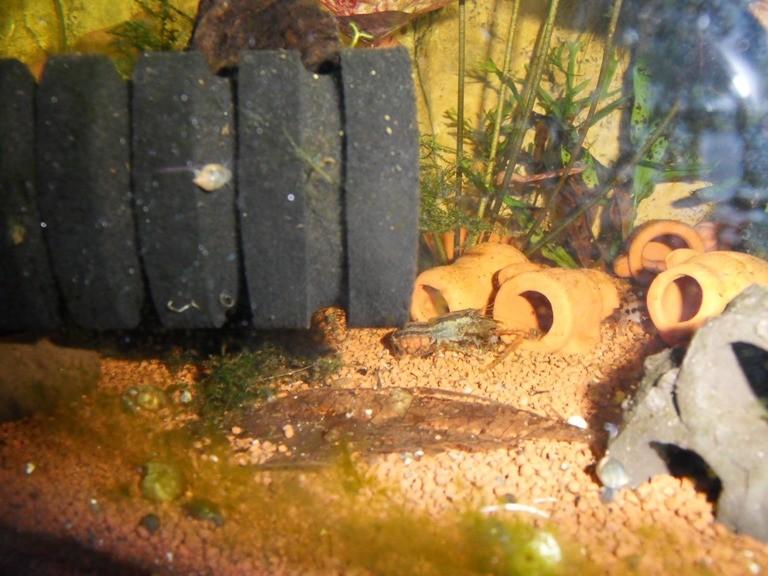 tragendes Weibchen-leider waren die Eier nicht befruchtet (siehe helle Farbe)