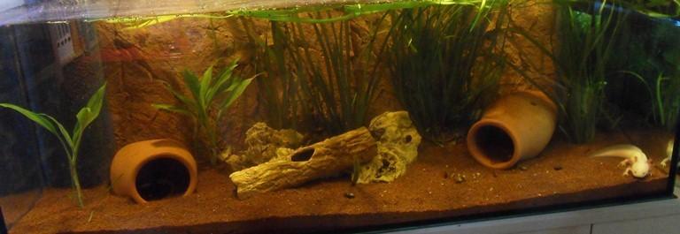 Axolotl Mai 2011