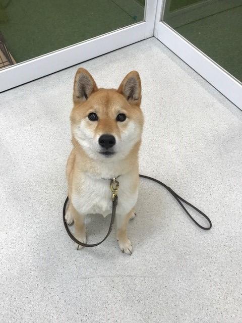 柴犬「梅ちゃん」