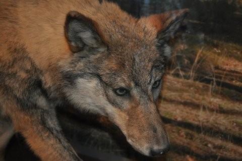 ist der Wolf nicht schön?