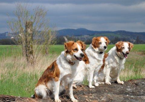 drei reinrassige Kromfohrländer an der Wiese vor Bergen