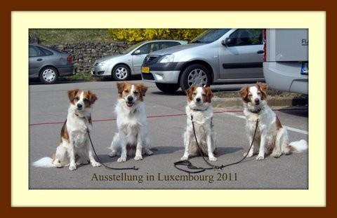 Kromfohrländer auf der Internationale Hundeausstellung in Luxemburg mit Kromfohrländern