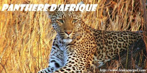 Panthère d'Afrique