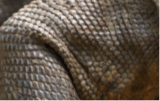 La peau d'un Dragon De Komodo