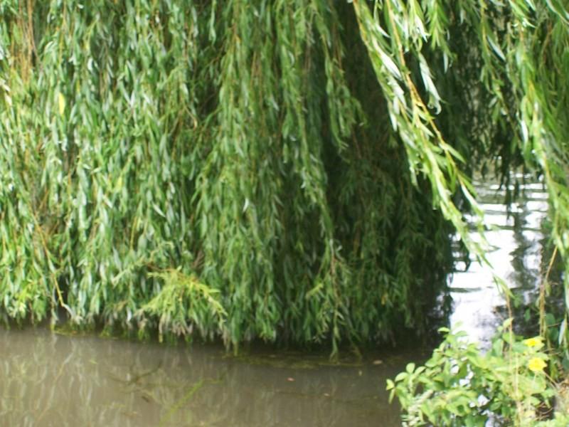 les feuilles du saule dans l'eau !