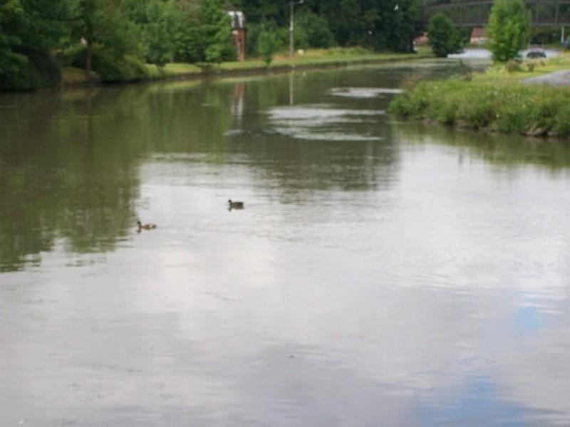 Les jeunes canards