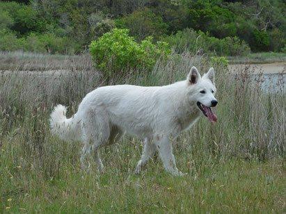 Gaia femelle berger blanc suisse