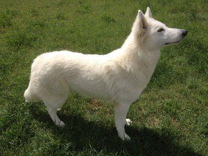 Gwen femelle berger blanc suisse