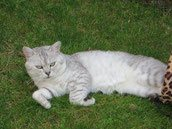 Elevage british shorthair