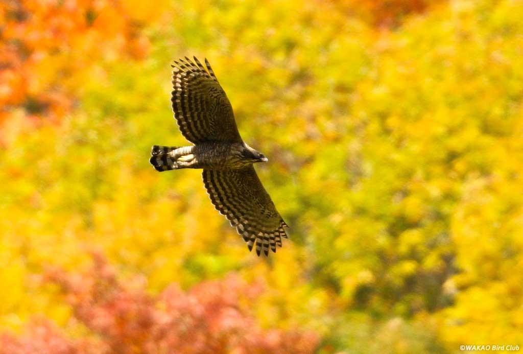Wakao Kumataka Graphics:紅葉の山肌を流れ飛ぶクマタカ