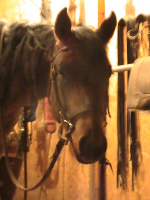 Cow girl, pouliche de 2 ans, prête à travailler!