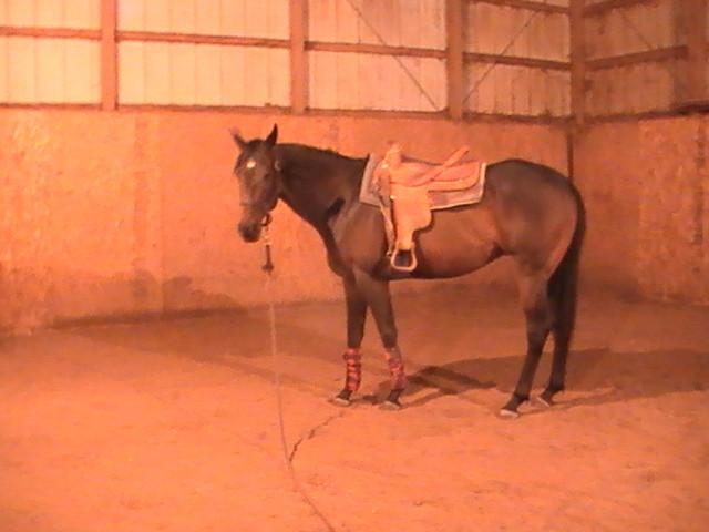 Leggs, (Hunt seat horse) Quarter Horse de 5 ans (croisement avec une jument Pur sang)