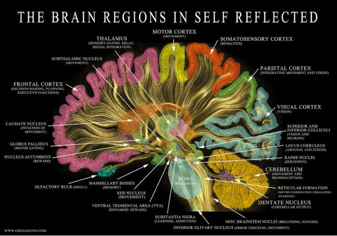 The brain regions in self reflected