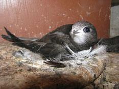 Mauersegler auf Nest Erlenbach/NABU