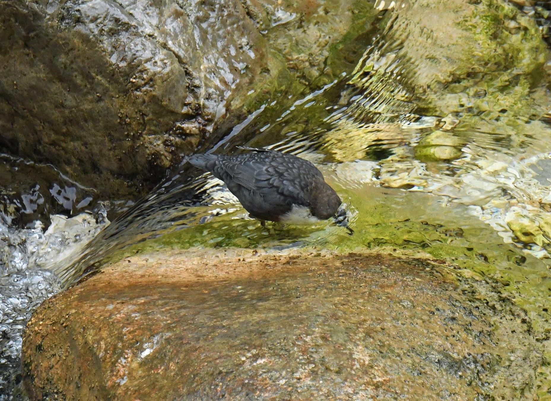 Ihre Nahrung, die vor allem aus Köcherfliegenlarven besteht, sucht sie ausschließlich unter Wasser.