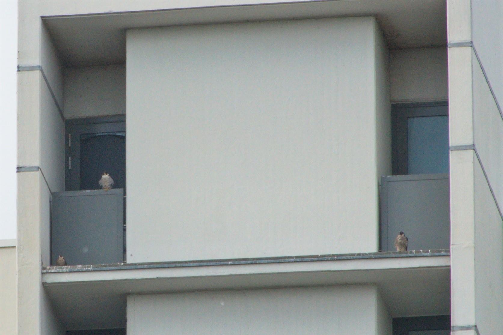 Hier sitzen zwei Terzel - so werden die männlichen Tiere genannt -  und ein weibliches Jungtier auf dem LVA Gebäude.