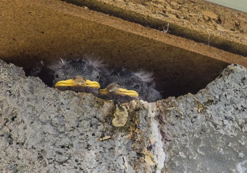 Durchschnittlich zweimal im Jahr werden jeweils drei bis fünf Junge aufgezogen. Hauptnahrung sind Insekten.