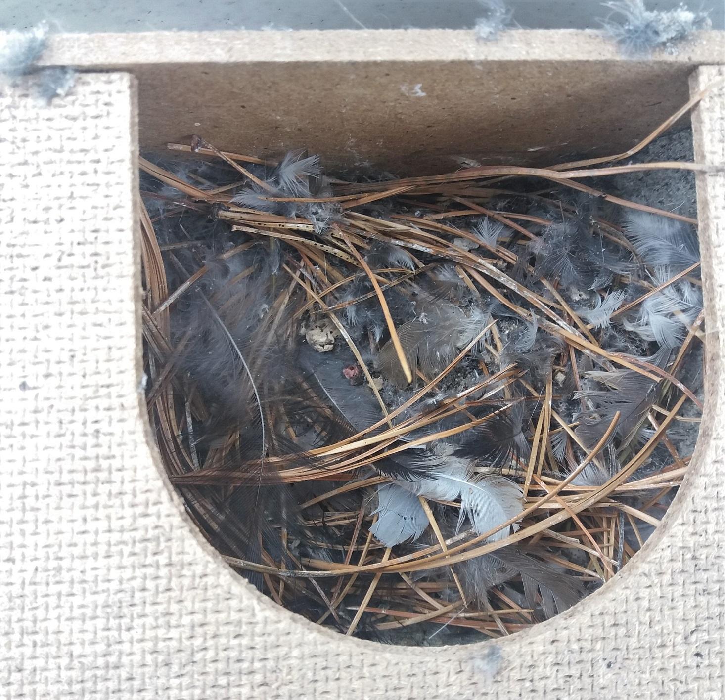 Mit Federn und Kiefernnadeln ausgepolstertes Nest. Kuschelig und gut isolierend. Um an Hausfassaden Verkotungen zu verhindern, empfiehlt sich die Anbringung von Kotbrettchen (mehr Infos s. unten)