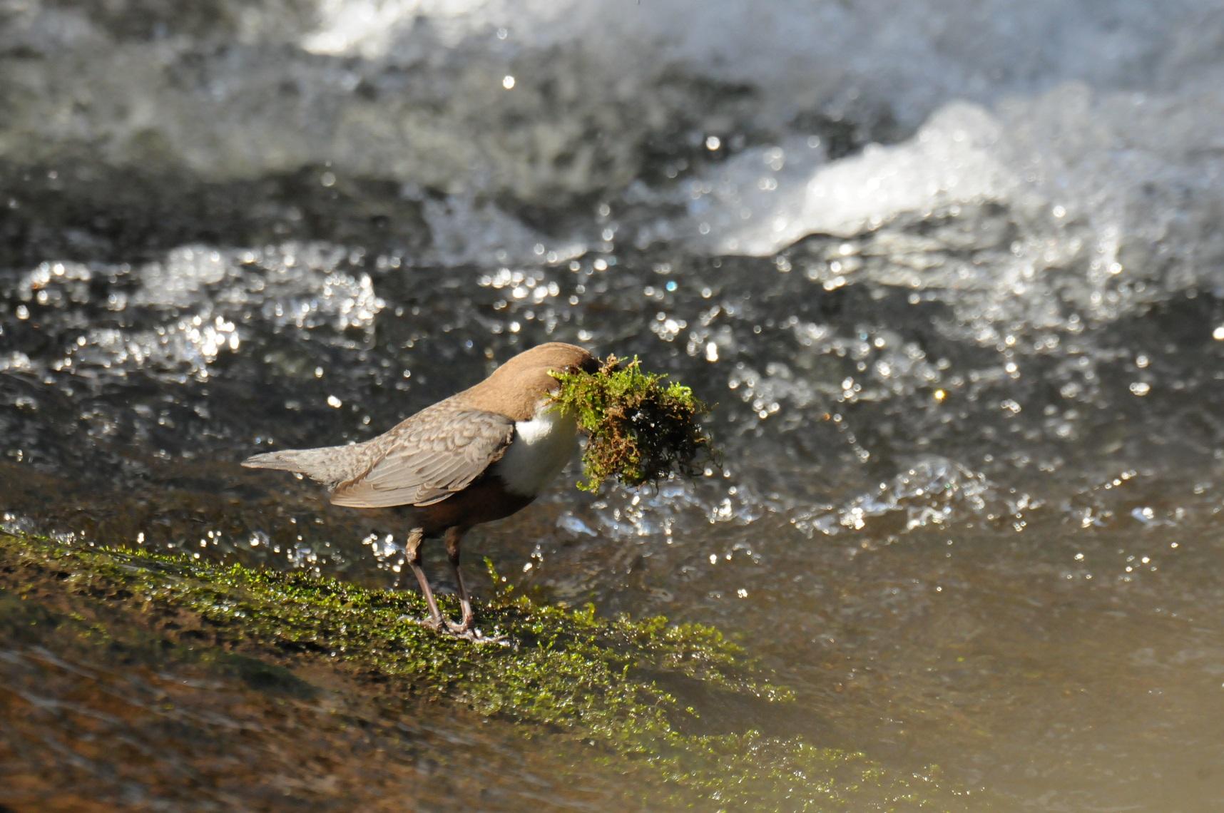 Sie sammelt Moos aus dem Wasser für ihr Nest.
