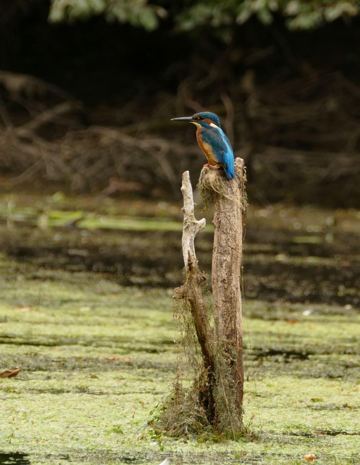 wo er in den Uferkanten und den Wurzeltellern umgefallener Bäume seine Brutröhren anlegt.