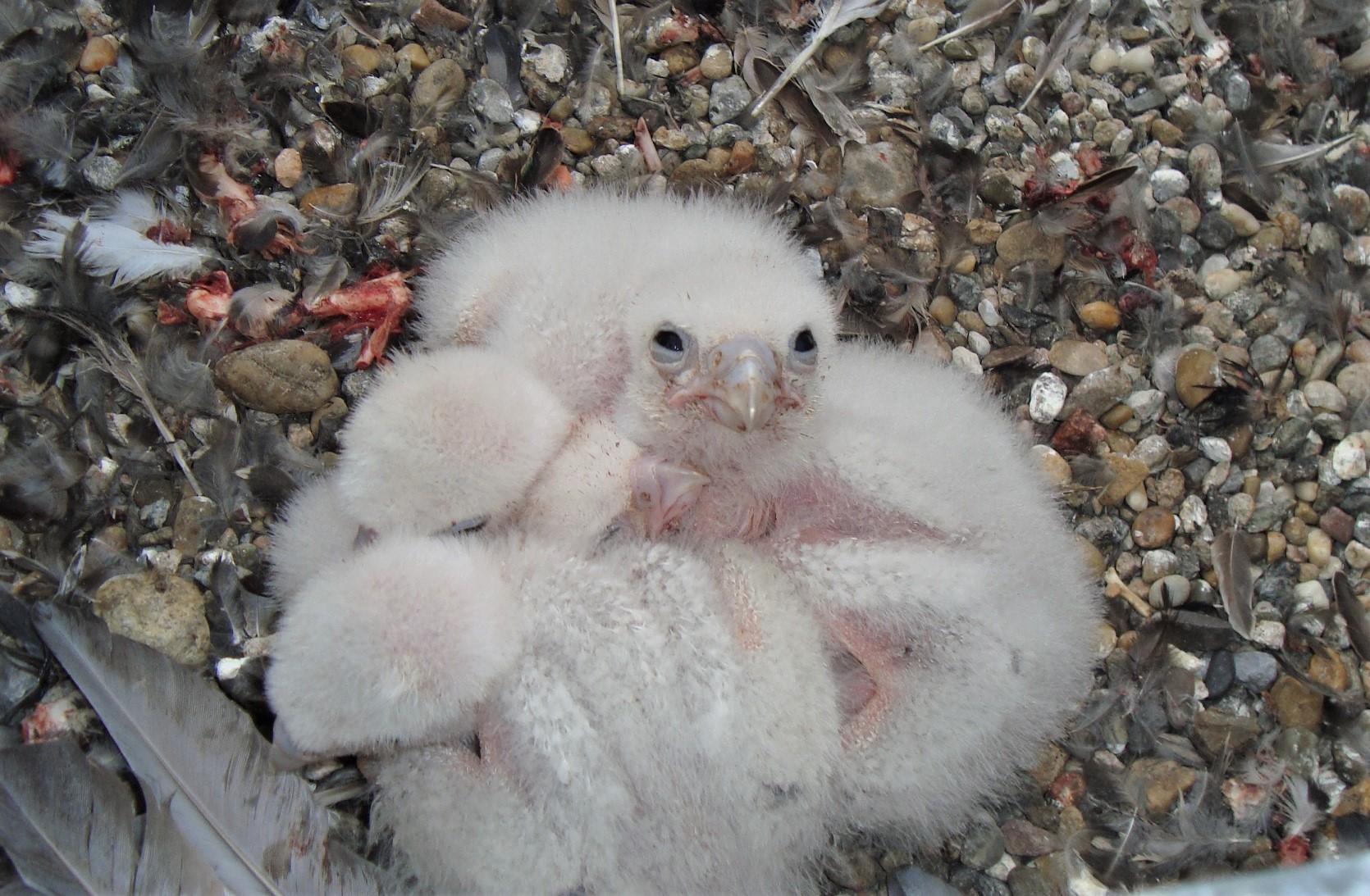 In der Regel werden 2-4 Eier gelegt. Kam es zu einer erfolgreichen Brut, so werden die Jungfalken beringt.