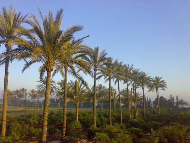 Palmeral del delta del Nilo