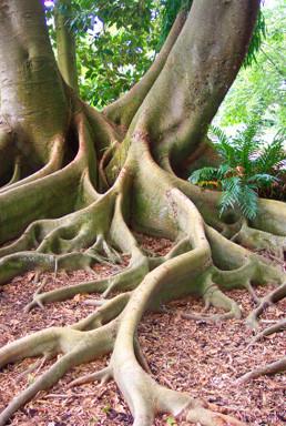 Baum, der aus zwei Stämmen besteht, Symbol für ein Paar- auseinander und ineinander zu wachsen