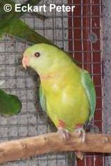 Politelis sainsonii (Barrabansittich)  pastell grün