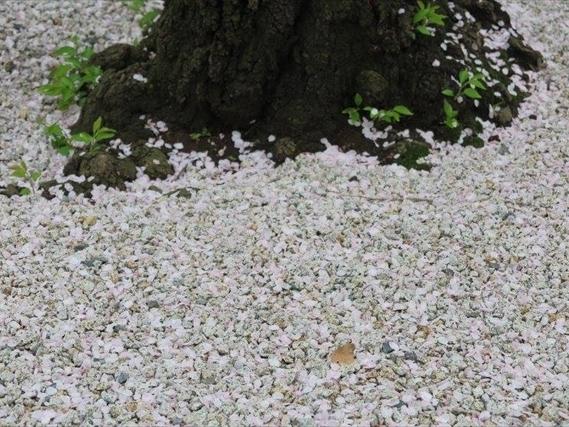 桜舞い散る桜御影
